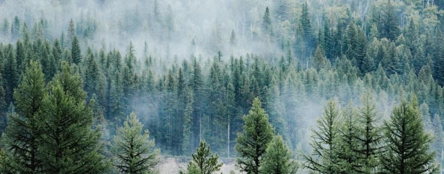 foret de sapins avec de la brume