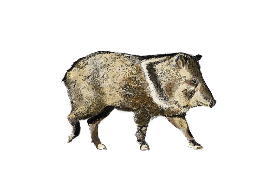 Peccary-walking