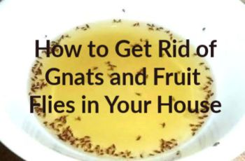 How to Get Rid of Gnats and Fruit Flies Fast in Your House and Keep your House Bug Free of Fungus Gnats and Fruit Flies With Home Remedies that Work