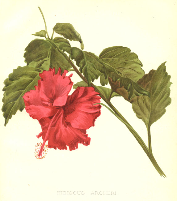 Hibiscus × archeri William Robinson (editor) - The garden. An illustrated weekly journal of horticulture in all its branches by William Robinson (editor), volume 55, plate 1221.