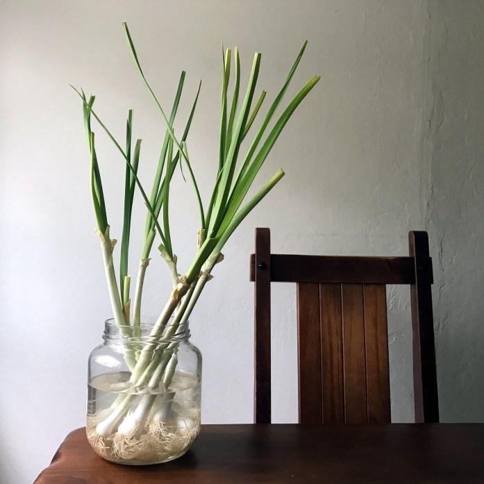 regrowing leeks
