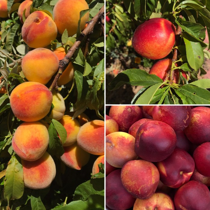 California peaches and nectarines