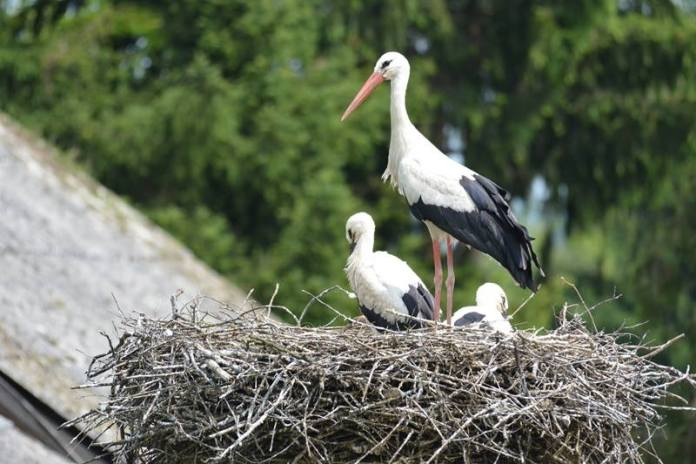 Danas je Dan roda, u Zagrebačkoj županiji zabilježeno je 265 gnijezda ove zaštićene ptičje vrste!