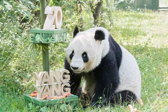 Velika panda iz bečkog zoološkog vrta proslavila 20. rođendan