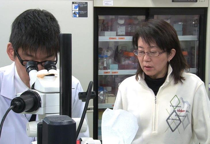 Com células-tronco reprogramadas, cientistas tentam retardar cegueira Riken e Ibri/Jiji Press/AFP