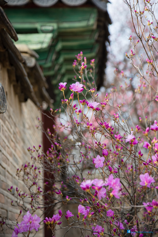 Nicely landscaped and scattered with flowers, Changdeokgung palace is both majestic and peaceful at the same time