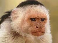 Как происходит размножение приматов все о брачном сезоне