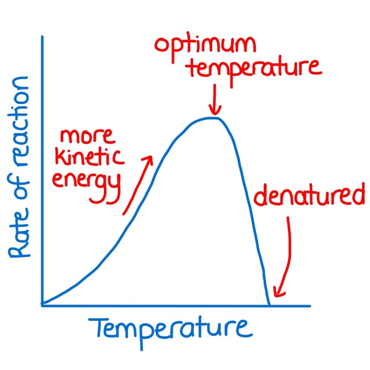 Graph of temperature versus rate of an enzyme controlled reaction.