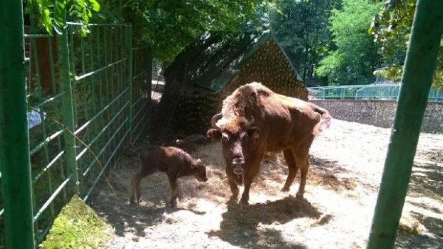 zimbru la zoo hunedoara