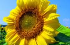Recoltarea de floarea soarelui este aproape de final
