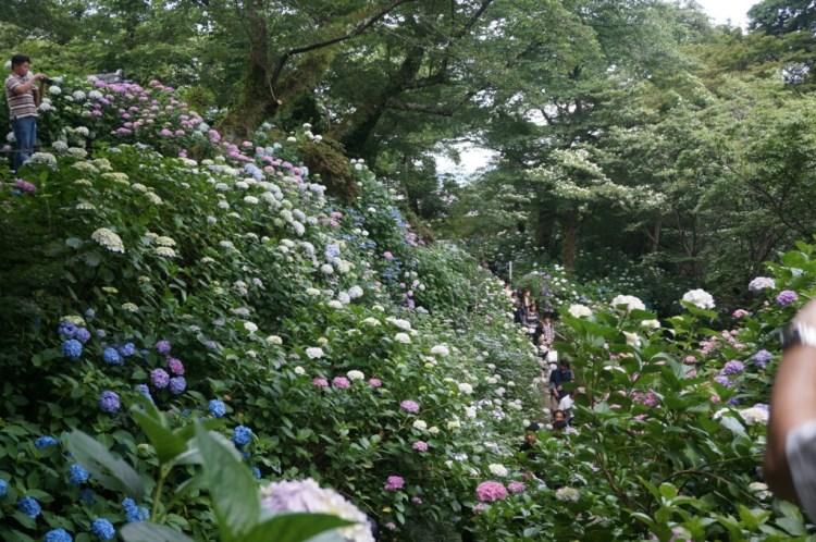矢田寺 アジサイ 大庭園