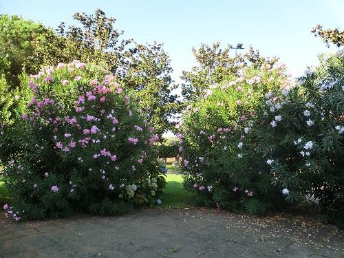 Oleander in Süd-Italien