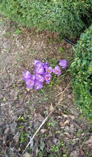 12939434_1031976736871189_1137763450_n Jakie rośliny jako pierwsze budzą się na wiosnę?
