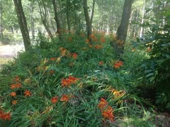 img_1077 Ogród w lesie. Sumin