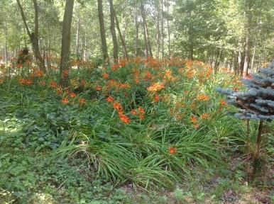 img_1079 Ogród wlesie - Sumin
