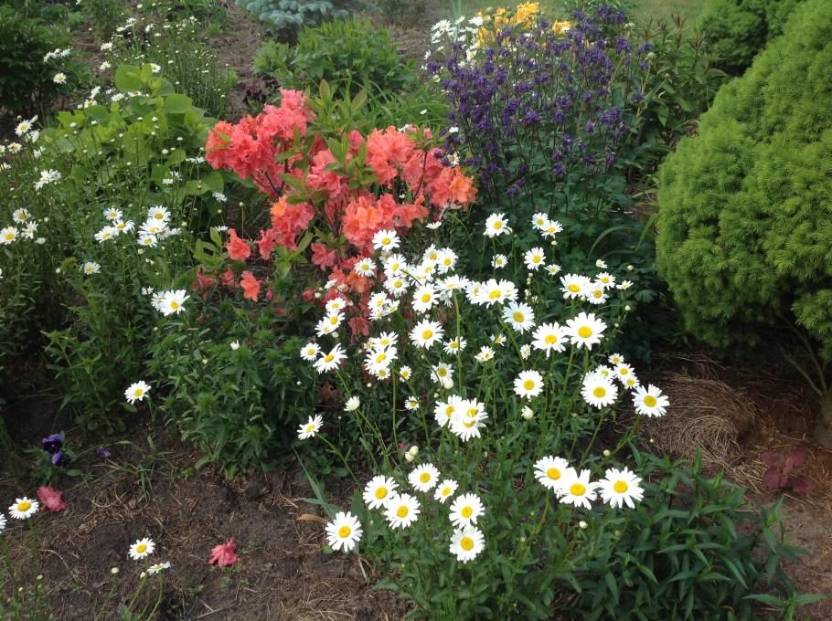 img_2136 Rododenrony i azalie - co robić, aby pięknie kwitły