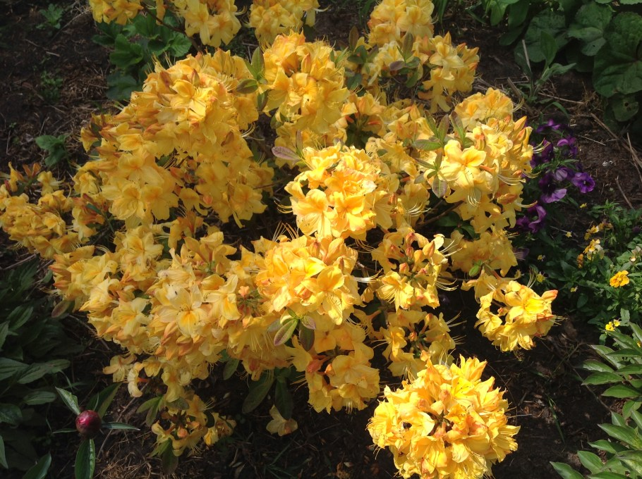 img_2138 Rododenrony i azalie - co robić, aby pięknie kwitły