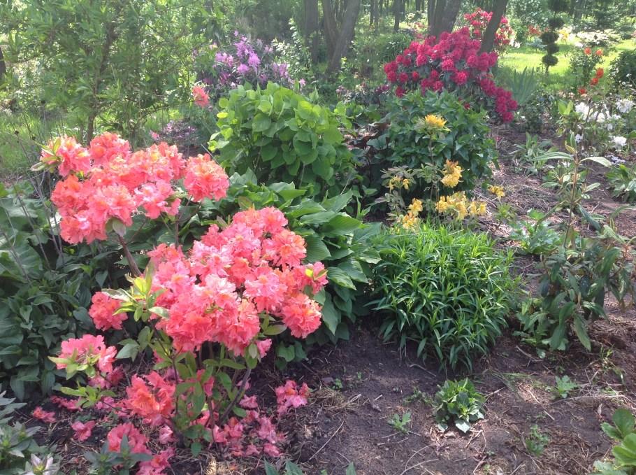 img_2139 Rododenrony iazalie - co robić, aby pięknie kwitły
