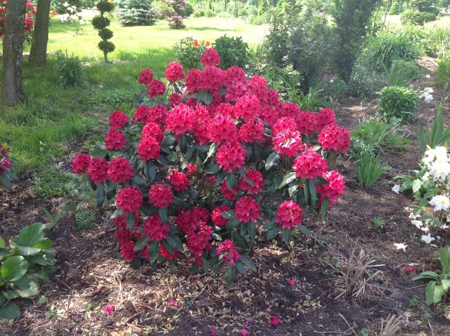 img_2141 Rododenrony i azalie - co robić, aby pięknie kwitły