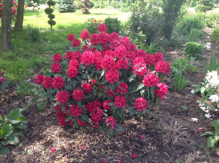img_2141 Rododenrony iazalie - co robić, aby pięknie kwitły