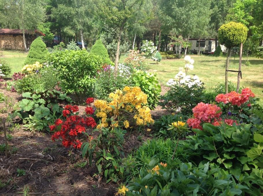 img_2142 Rododenrony iazalie - co robić, aby pięknie kwitły