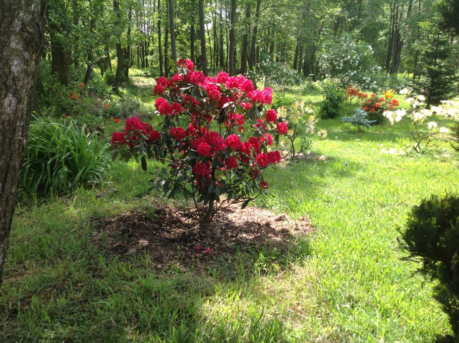 img_2149 Rododenrony i azalie - co robić, aby pięknie kwitły