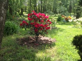 img_2149 Rhododenrony iAzalie - co robić bypięknie kwitły.