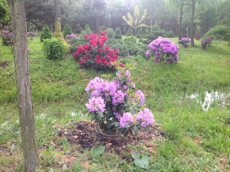 img_2202 Rododenrony i azalie - co robić, aby pięknie kwitły