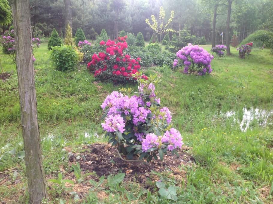 img_2202 Rododenrony iazalie - co robić, aby pięknie kwitły