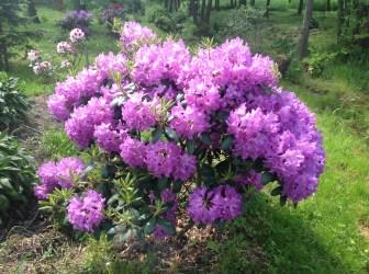 img_2213 Rhododenrony i Azalie - co robić by pięknie kwitły.