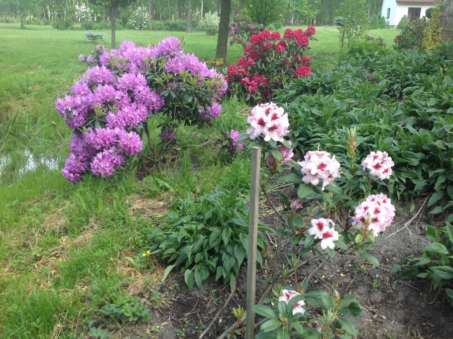 img_2216 Rododenrony i azalie - co robić, aby pięknie kwitły