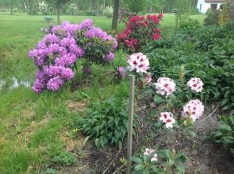 img_2216 Rhododenrony iAzalie - co robić bypięknie kwitły.