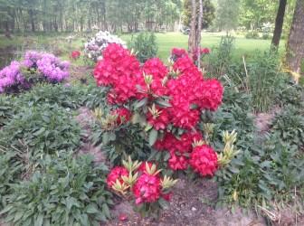 img_2217 Rhododenrony i Azalie - co robić by pięknie kwitły.