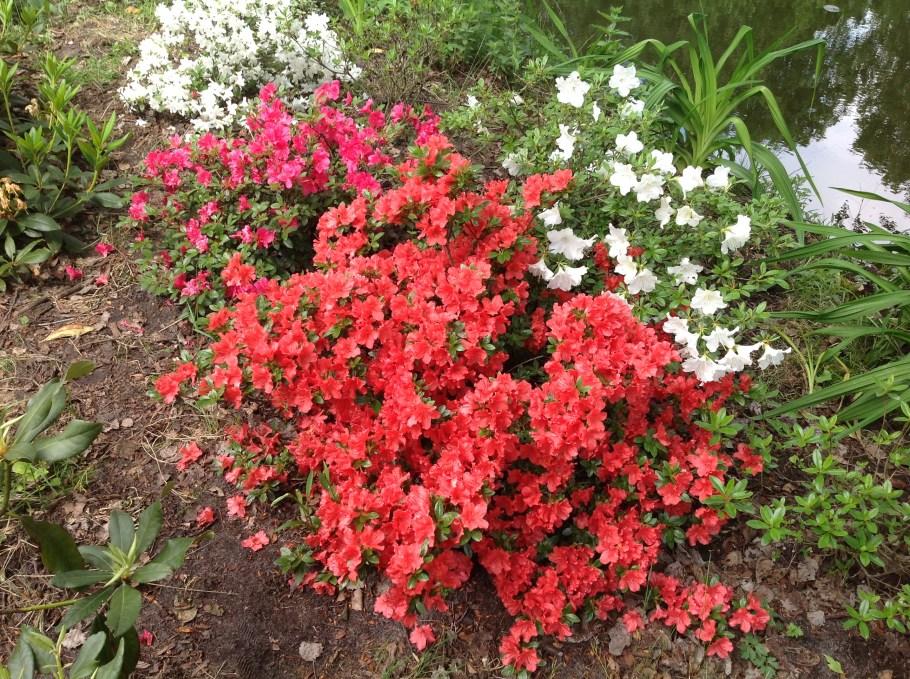 img_2262 Rododenrony iazalie - co robić, aby pięknie kwitły