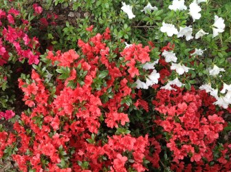 img_2263 Rhododenrony i Azalie - co robić by pięknie kwitły.