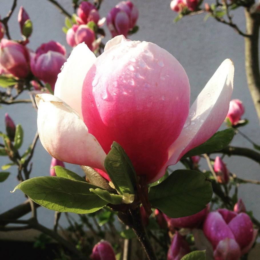 img_51041 Jakie rośliny jako pierwsze budzą się nawiosnę?