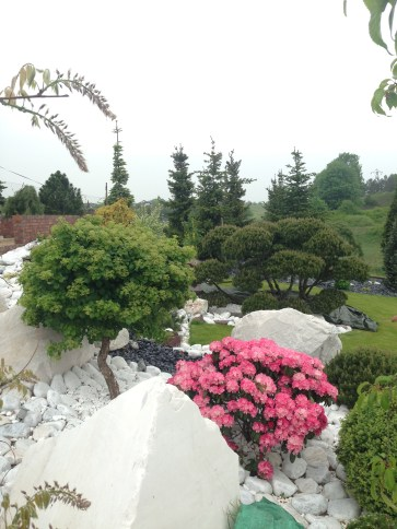 img_5260 Rhododenrony iAzalie - co robić bypięknie kwitły.