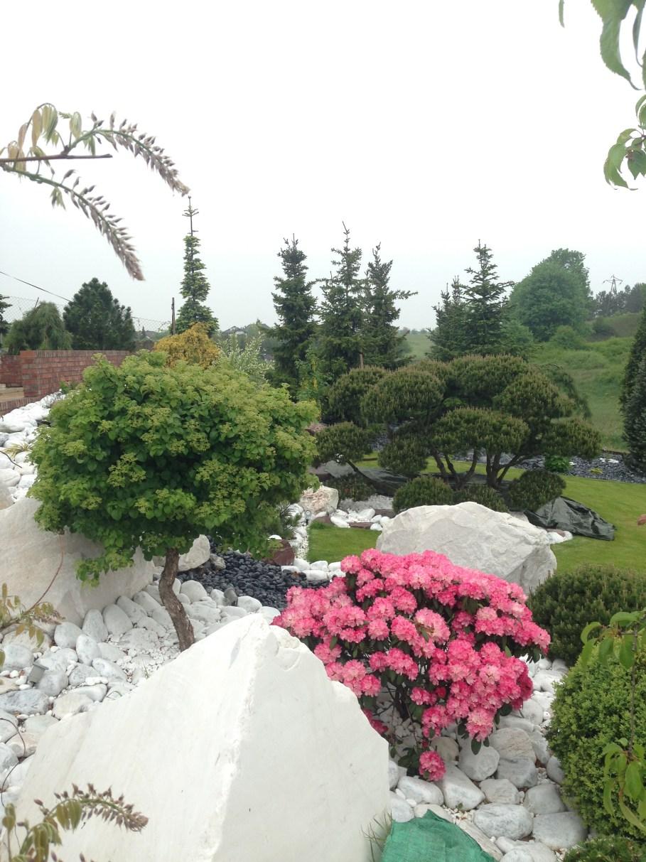 img_5260 Rododenrony iazalie - co robić, aby pięknie kwitły