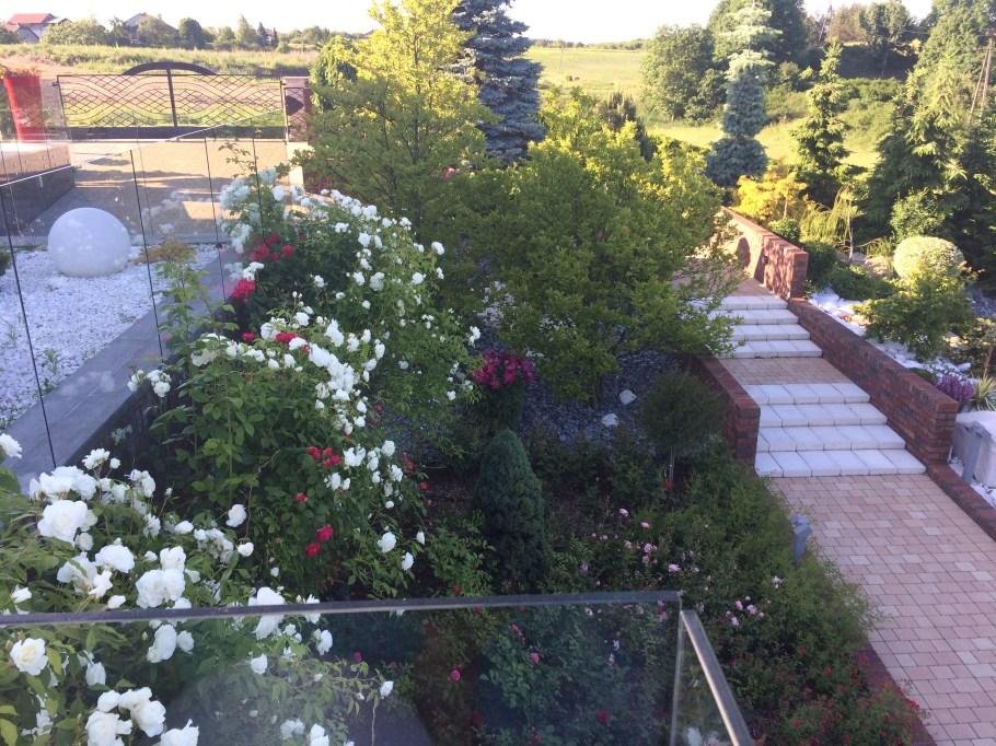 img_6429 Wiosenne cięcie róż
