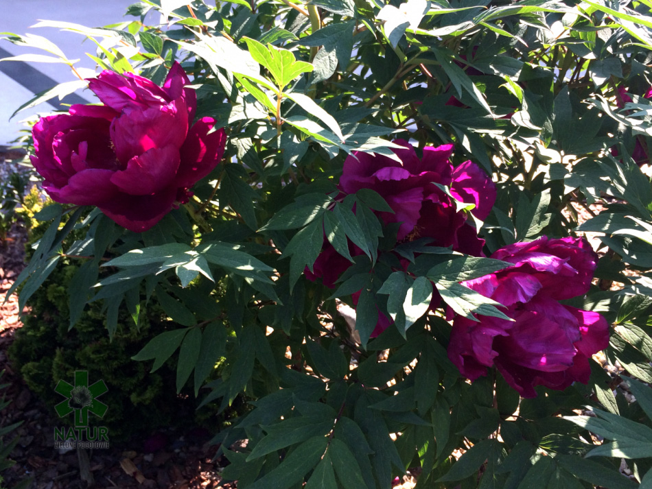 niemcz-grzenia_00005 Pierwsze kwiaty wiosny