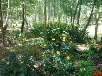ogrc3b3d-naturalny-w-sumienie_00005 Ogród w lesie. Sumin