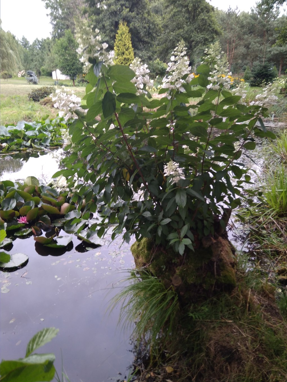 img_20170812_184922 Odmiany hortensji