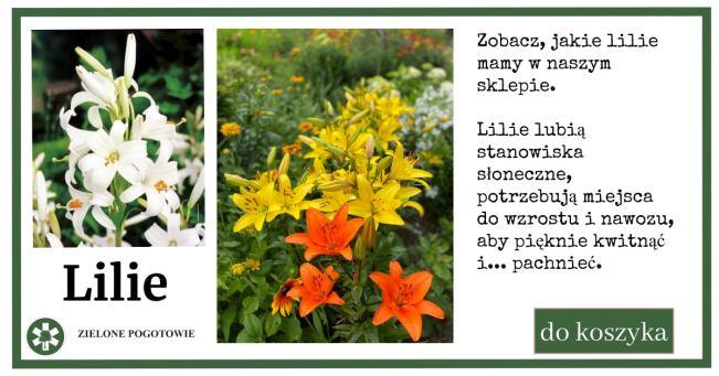 lilie-sklep-zielone-pogotowie-1024x538 Rozmnażanie lilii