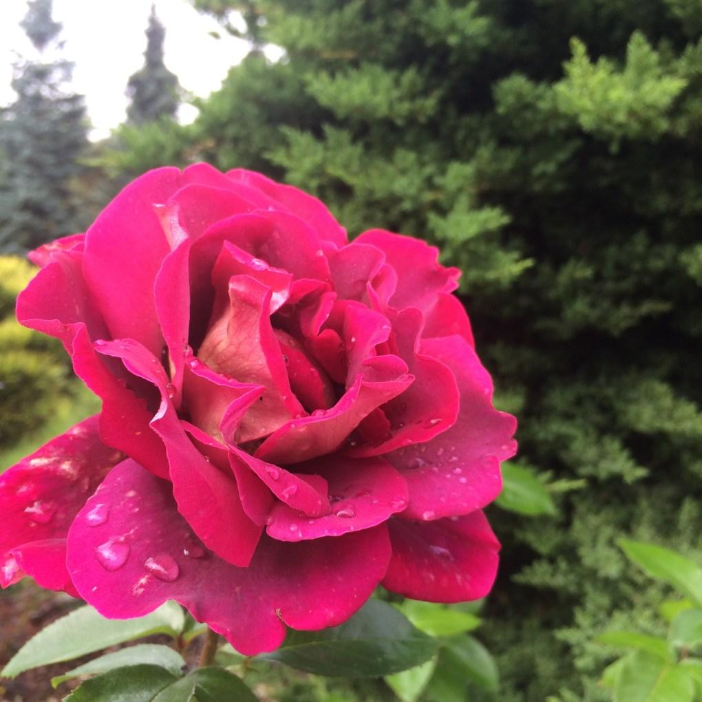 img_9523 Jak samemu zrobić sadzonki róż