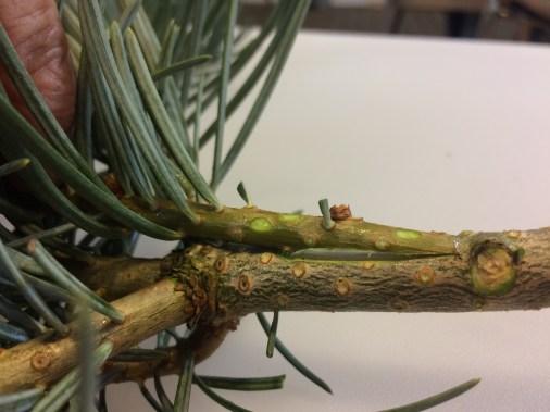 przystawka-boczna-z-siodec582kiem-iglaste2 Formularz zgłoszeniowy na warsztaty ze szczepienia roślin