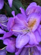 img_0553 Czy obrywamy kwiaty azalii i różanecznika?