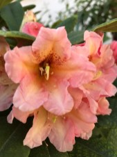 img_0890 Czyobrywamy kwiaty azalii iróżanecznika?