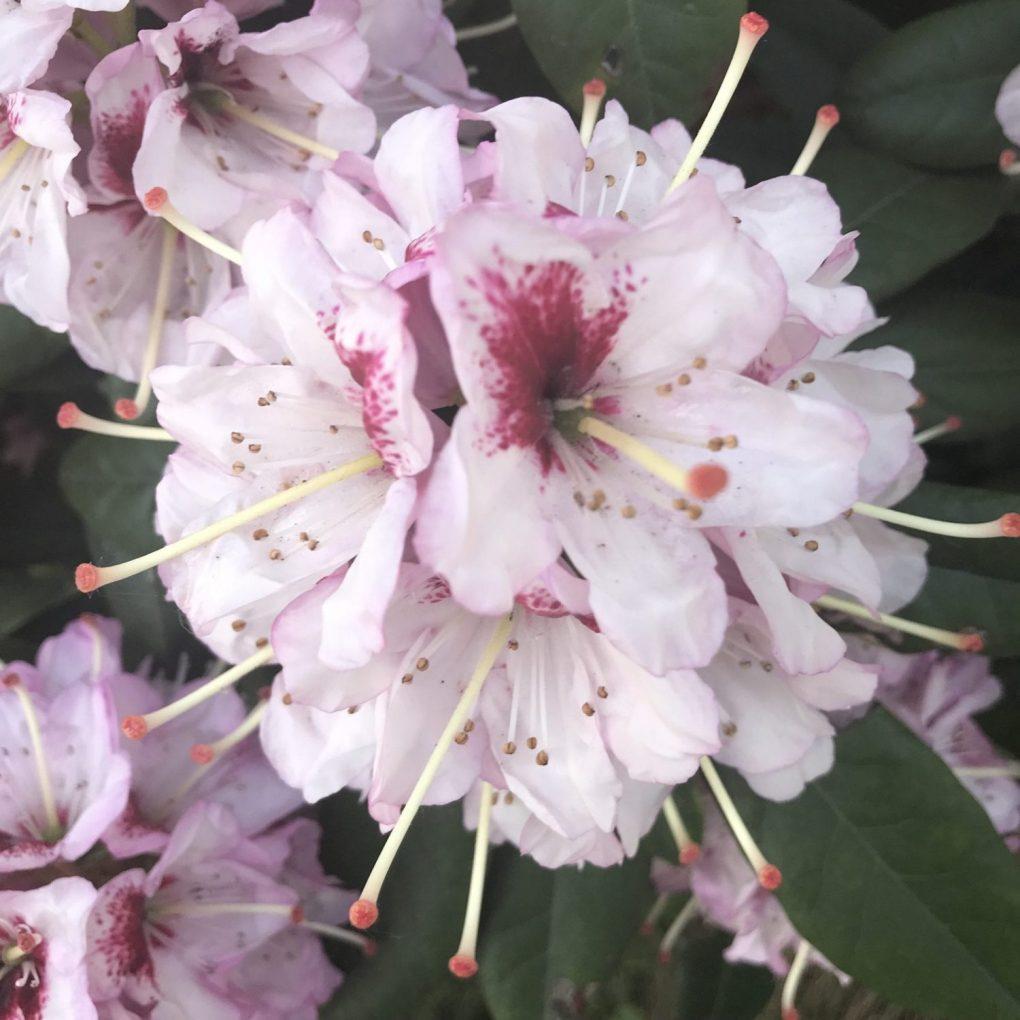 img_1117 Czyobrywamy kwiaty azalii iróżanecznika?