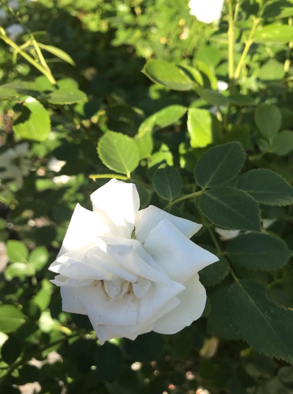 rc3b3c5bca-zielone-pogotowie Jak dbać o róże, żeby kwitły