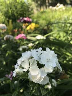 img_1481 Jak pozyskać nasiona kwiatów?